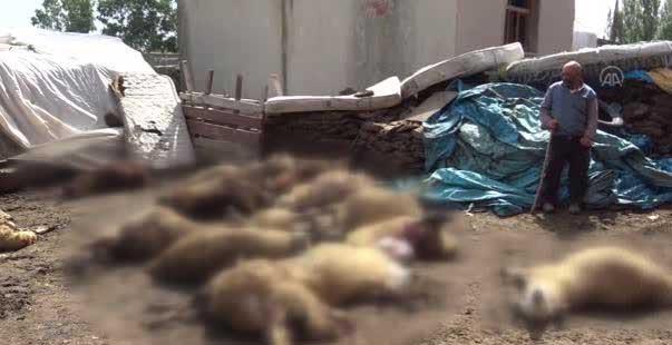 kars'ta kurtların saldırdığı sürüdeki 22 koyun telef oldu