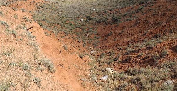 yozgat'ta kurtların saldırısı sonucu 60 kurbanlık koyun telef oldu
