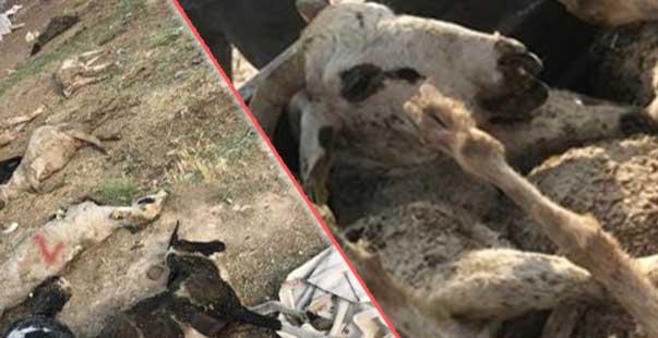 karaman'da 150 koyunu telef olan üretici destek bekliyor