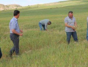 Buğday ve arpa üreticisini kuraklık vurdu