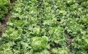 Çubuk ilçesinde etkili olan dolu, 10 bin 500 dekar ekili alana zarar verdi