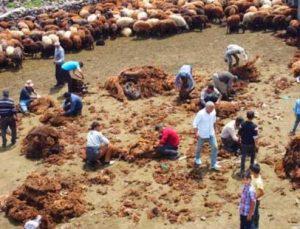 Besicilerin zorlu koyun kırkma mesaisi başladı