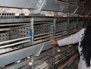 10 bin tavuk telef oldu, sahibi ağıt yaktı