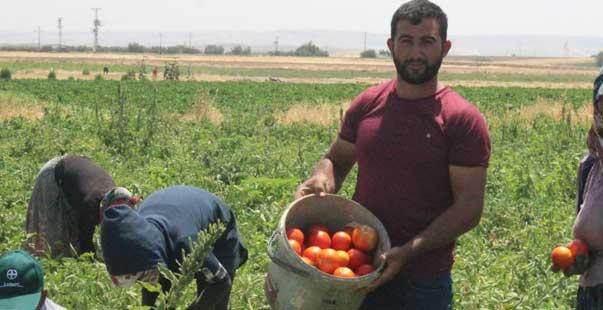 kurban bayramı öncesi domates üreticisi talebe yetişemiyor