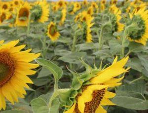 amasya'da kuraklığa karşı 'ayçiçeği' seferberliği