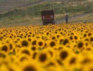 Basınçlı sulama sistemine geçip 4 bin dönüme ayçiçeği ekti, gören Trakya zannetti