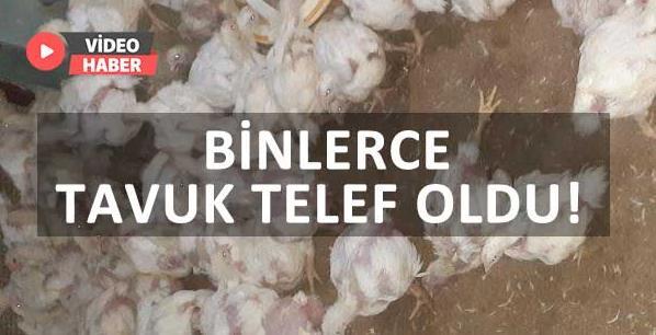 Binlerce tavuk telef oldu