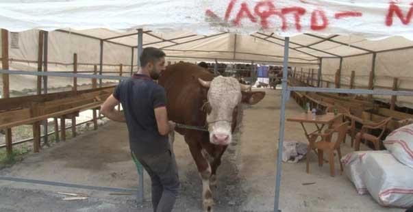 sultanbeyli'deki kurban pazarının 1 tonluk 'efe'si alıcısını bekliyor