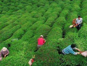 Yaş çay budama bedelleri ödendi