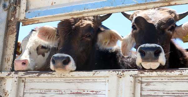 kurbanlık hayvan sevkiyatı başladı, sıkı denetimler sürüyor