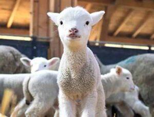damızlık koyun, keçi birliğinden çiftçilere 'vergi' müjdesi