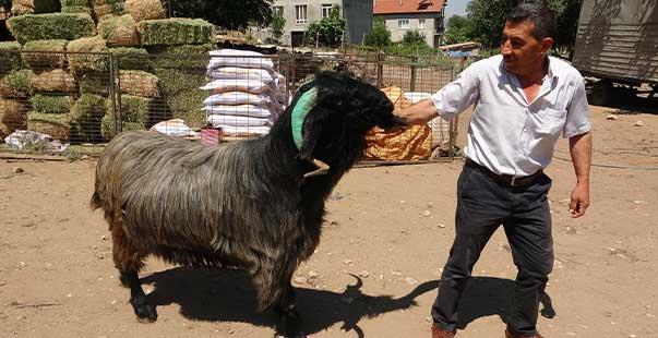 isparta'da 169 kiloluk kurbanlık teke 5 bin liradan alıcısını bekliyor
