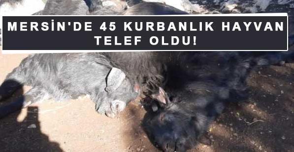 Mersin'de 45 kurbanlık hayvan telef oldu