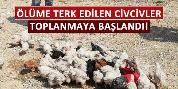 Ölüme terk edilen civcivler toplanmaya başlandı