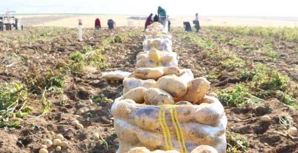 niğde'de yazlık patates hasadı başladı
