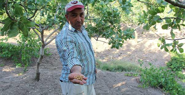 siirt'te fıstık bahçede yandı, çiftçiler dertli