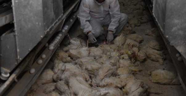 tavuk çiftliğinin deposunda çıkan yangında 10 bin tavuk telef oldu