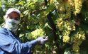 2021 yılı üzüm işçi fiyatları belirlendi