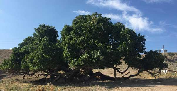 bu ağacın yaşı hesaplanamıyor