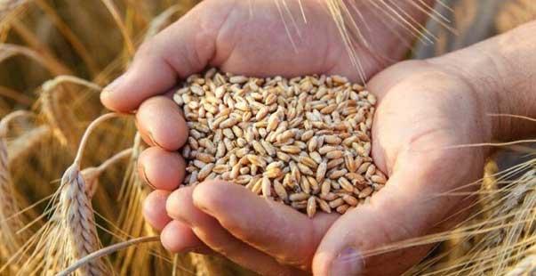 TMO buğday ve arpa alımı için uluslararası ihale açtı