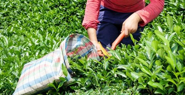 çay kanunu için artık top tarım ve orman bakanlığı'nda