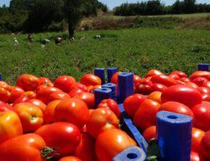 çanakkale'de domates hasadı sancılı başladı: tarlada ucuz, zincir marketlerde 10 katına satılıyor