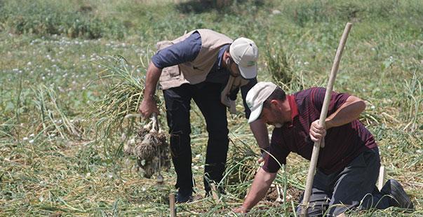 gübretaş'ın model üretim alanları projesinde ilk hasat taşköprü sarımsağında gerçekleştirildi