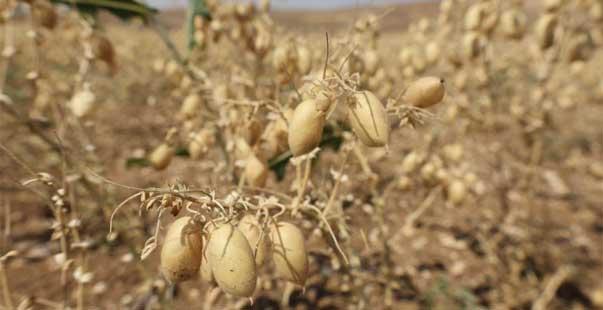 gurun hasat1 1