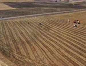 gürün'de ilk defa ekilen azkan çeşidi nohudun hasadı yapıldı