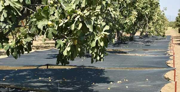 aydın inciri'nde kalite kayıpları en aza indirilecek