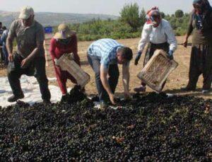 kilis horoz karası üzümü kurumaya bırakıldı