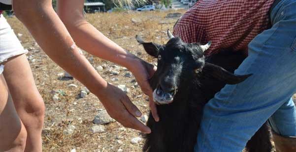 didim'de keçilere zehirli incir tuzağı