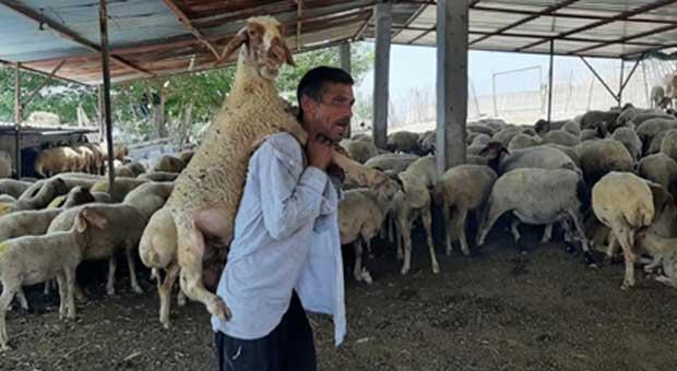 yorulan koyunu ahıra kadar sırtında taşıdı