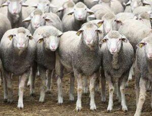 kurtlar 25 koyunu ve 5 kuzuyu telef etti