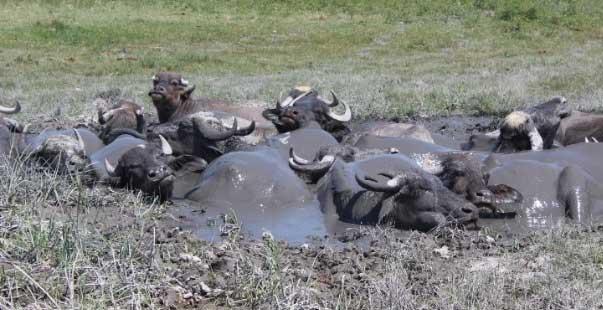 iğdır ovası'nda afrika'yı aratmayan görüntüler