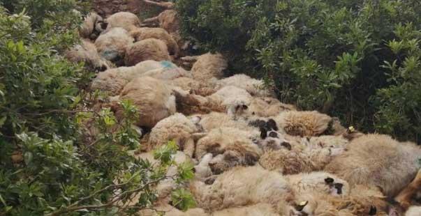 122 koyun telef oldu