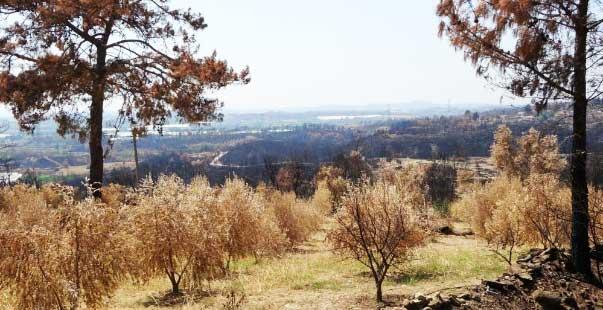manavgat orman yangınında 18 bin dönüm zeytin ağacı yandı
