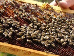 arı üreticileri 300 ton baldan 60 milyon tl gelir elde etti