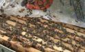 İstanbul'da başladığı arıcılıkta bal siparişlerine yetişemiyor