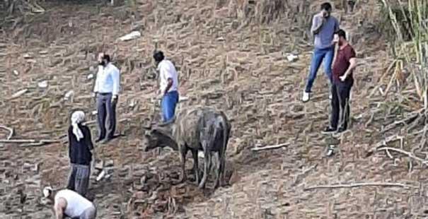 bataklığa saplanan büyükbaş hayvan itfaiye tarafından kurtarıldı