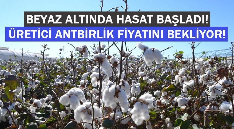 Beyaz altında hasat başladı, üretici ANTBİRLİK fiyatını bekliyor