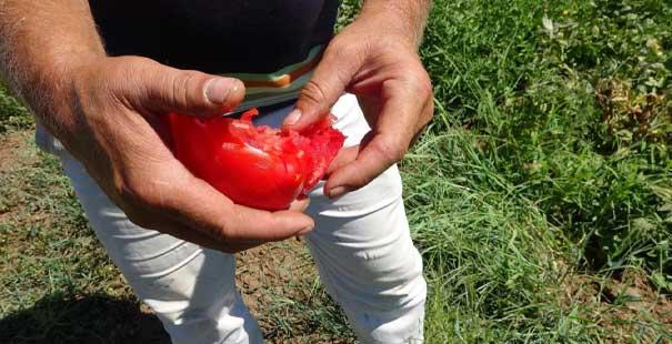 çanakkale domatesi'ne piyango vurdu
