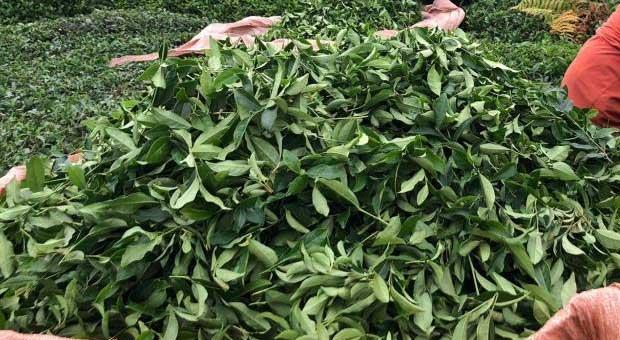 çaykur 2 günde üreticiden 9 bin 500 ton yaş çay aldı