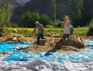 sular altında kalacak köyde son çeltik hasadı