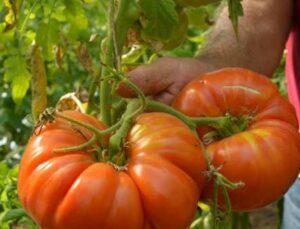 tanesi ortalama 1 kilo geliyor, bu domatesler ağırlıklarıyla dikkat çekiyor