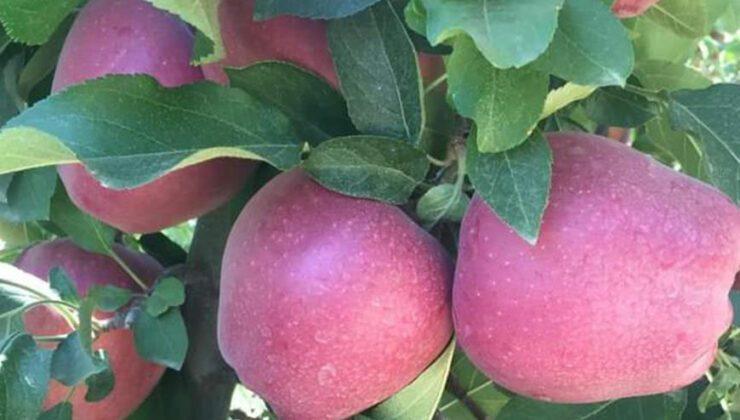 22 bin ton elma rekoltesi bekleniyor