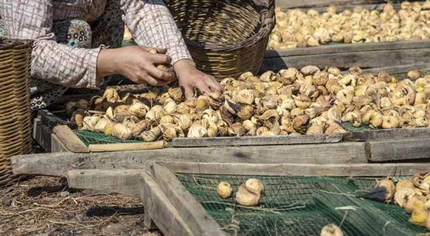 kuru incirin ihracat yolcuğu 6 ekim'de başlayacak