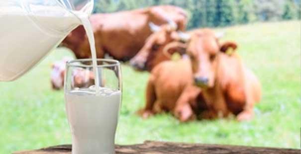 toplanan inek sütü miktarı yüzde 1,6 arttı