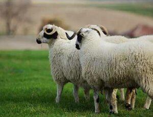 31 koyun sıkışarak telef oldu