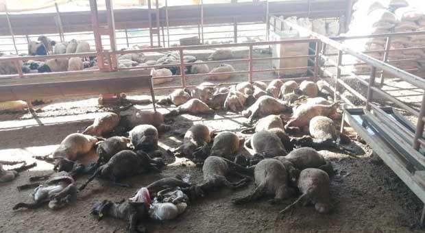 Ağıla giren köpekler 50 küçükbaş hayvanı telef etti